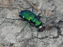 Six_Spotted_Tiger_Beetle