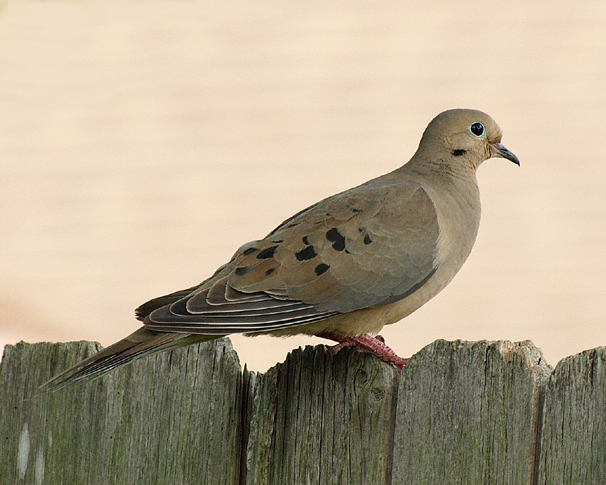 Mourning march month of in dove millions dove my mourning