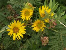 Roughstem rosinweed and Illinois Bundleflower