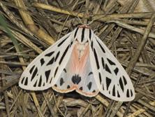 Arge Tiger Moth