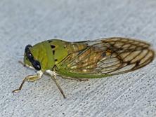 Superb Cicada