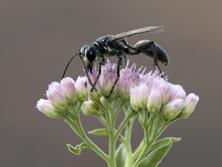 Wasp on Marsh Fleabane