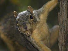 Fox Squirrel with pecan