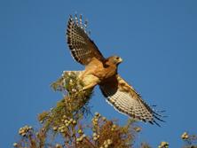 Red_shouldered_Hawk