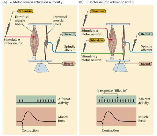 Motor Neurons Gamma Neurons Fusimotor Neurons Gamma Motor