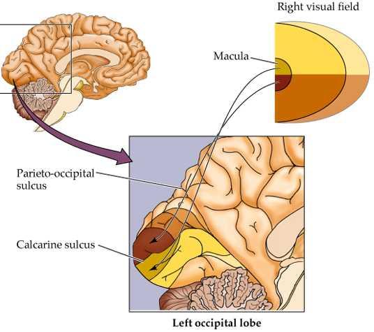 Brain Maps  The Sensory Homunculus